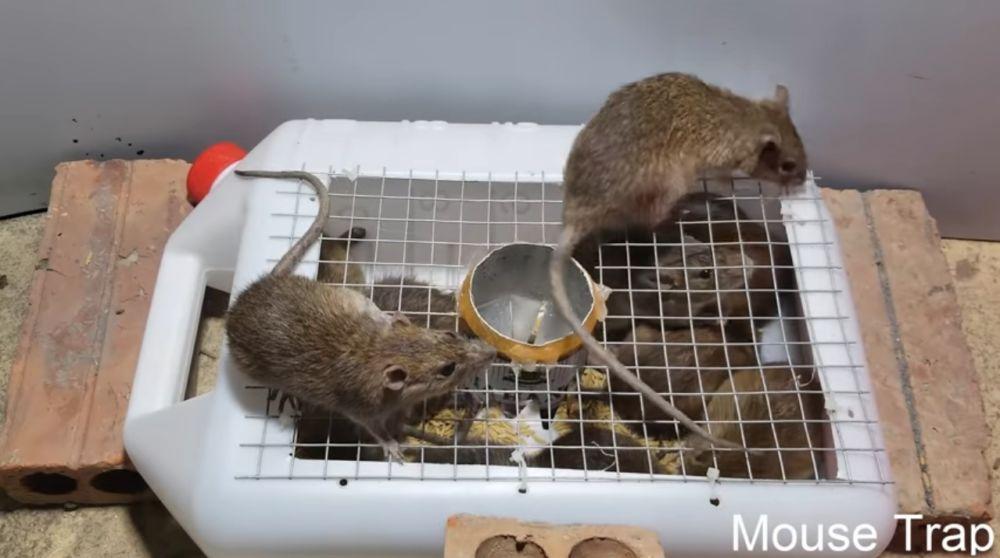 крысы в мышеловке