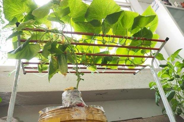 Как вырастить огурцы в помещении