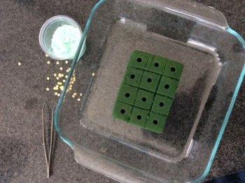 Как самостоятельно прорастить зерна
